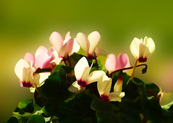 Bouquet of Cyclamens