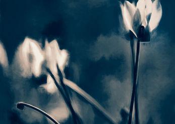 Cyclamen beauty