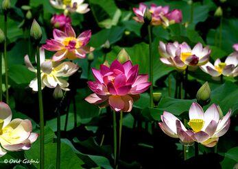 פרחי הלוטוס