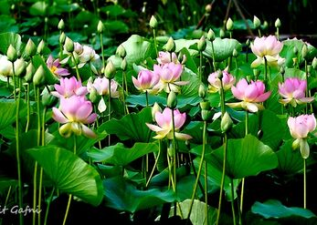 יופיים של פרחי הלוטוס