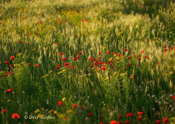 שדה אביבי