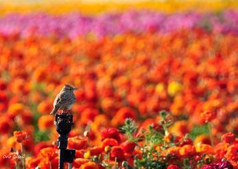 עפרוני בשדה פרחים