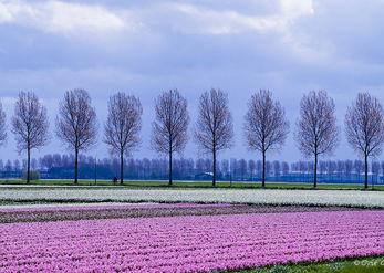 Hyacinth fragrance