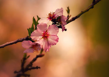 Almond tree branch