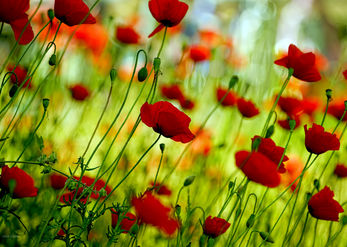 Poppies in swing
